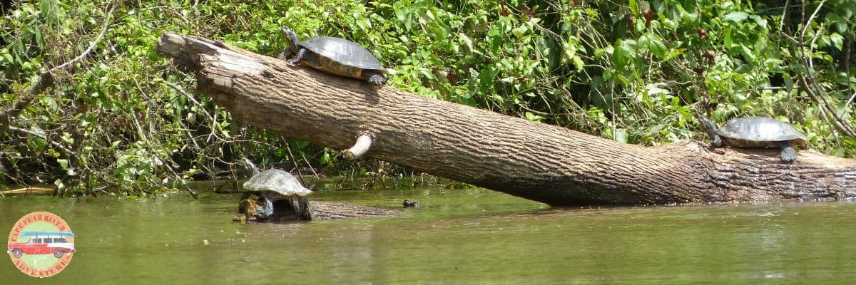 turtles and wildlife on cape fear river in lillington, nc